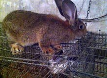 دكر ارانب