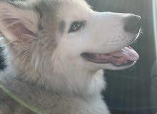 كلب هاسكى بيور اربع شهور مطعم ومعاهةحاجته للبيع لعدم التفرغ والسعر مفاجاة