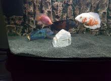 سمك زينة حجم كبير