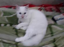 قطة شرازية