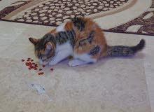 قطه  شيرازيه 4شهور انثى