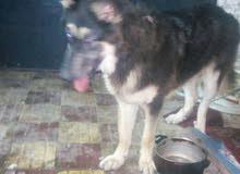 كلب جيرمن شيبرد مخلط بهاسكي 8 شهور طاعه