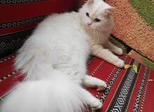 قطه تركية انثى للبيع