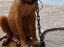 كلب للبيع جميل وصغير