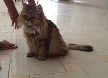 قطه شيرازي نظيفه ومطعمه