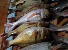 رحلة صيد بحرية (في ولاية صور) .. fishing trip