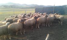 48 خروف للبيع