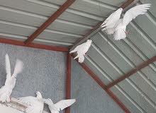 حمام عرايس للمراوس بطيور حب او غندوره