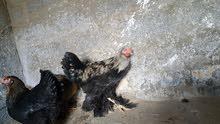 سلام عليكم  عندي دجاج برهما لبيع مكان في ترهوني للإستفسار الاتصال على الرقم 0910