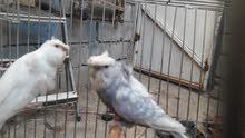 زوجين طيور حب هاجرمو ورده وحده وكورك النثايه عين حمره لون ابيض والفحله عين سوده