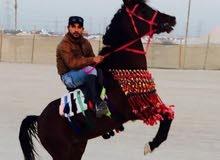 تاجير خيول اسطبلات الاحمدي