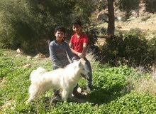عمان المقابلين