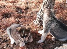 ثلاث كلاب هاسكي 2 لون ابيض واسود 1 لون اسود وابيض وابني للبيع او للبدل