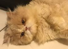 لتزاوج قط بيكي فيس مستوى عالي