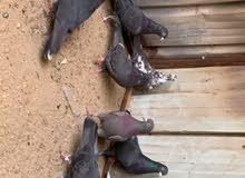 للبيع حمام لوت 10 طيور طيبين