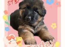 German shepherd puppy 2 Month old