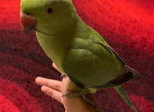 Green parrot- male baby Indian Ringneck- friendly nd tamed