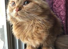 kitten female for sale