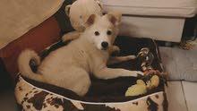 Husky Mix Golden Retriever