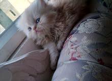قطة أنثى بيرشن بتجنن لون كريمي شعر طويل
