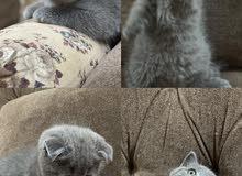 قطط سكوتش