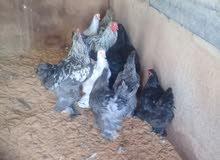9دجاجات براهما و3فراريج بصحة ممتازة