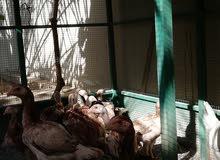 للبيع فروخ دجاج باكستاني نوع شامو  العدد8اناث وذكر واحد والمجموع 9   العمر .4اشه