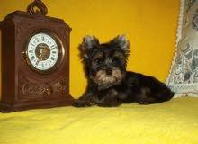 كلب  تيريرا    (قادرين على استيراد اي نوع تريد )