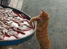 مطلوب قطة شيرازية للتبني او بيع بسعر مناسب