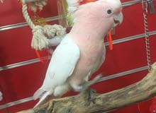 major cockatoo