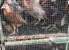 دجاج عمر 3 شهور