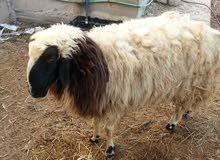 للبيع خروف فحل .التقاصيل