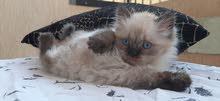 قطط هيمالايا