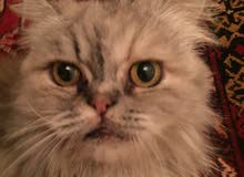 قطة شرازي