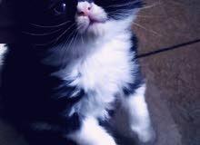 قطط شيرازي العمر شهر الأب والأم شيرازي