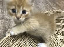 قطط شرايزيه لببيع هي و امهن