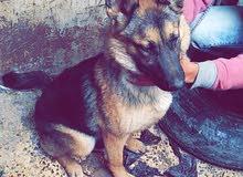 كلب جيرمان شبر العمر 5 شهور