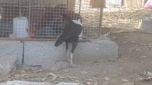 دجاج باكستاني اصل والحجم الضخم