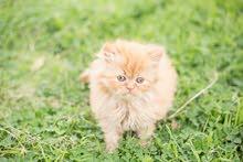 قطط هافات
