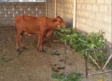 ثيران اثيوبيات مطعومات ما يقارب السنة موقع المزرعة صحم كما يوجد نقل حسب الإتفاق