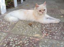 قطه تركيه