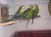 بادجي طيور الحب