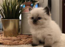 قطه هملايا شوكلت