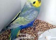 طيور رينبو للبيع