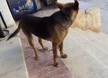 كلب ولف الماني العمر7شهور تحت التدريب