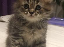قطة شيرازي عمره شهر واسبوع للبيع اصغر قط بالموقع