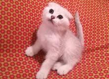 Scotch Fold Kitten - Chinchilla White - PURE - Female
