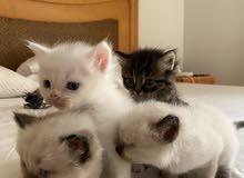 cat kittens for sell للبيع قطط كيتنس