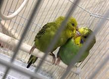 للبيع طيور الحب