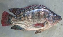 سمك البلطي ( tilapia fish )